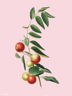 Chinese jujube from pomona italiana illustration Jar Packaging, Vector Can, New York Public Library, Nature Images, Free Illustrations, Chinese Painting, Botanical Illustration, Image Photography, Botany