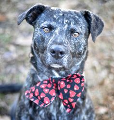 New Photo of Handsome Levi - Photographer says he is a really good boy!! Levi is URGENT - #150036 Levi - adorable brindle mix picked up via AC as a stray - he is about 2-3 years old, 48 lbs. and HW negative (light burgdorferi positive). SUPER sweet and staff favorite! Located in Mullins, SC- Marion Co. Paws to the Rescue https://www.facebook.com/savedbyaflash/photos/a.349452285240087.1073741853.323699877815328/349459928572656/?type=1&theater