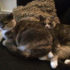Ihanat #kissat  sohvalla. #Söpö ja #Soma Cats, Instagram Posts, Animals, Gatos, Animales, Animaux, Animal, Cat, Animais
