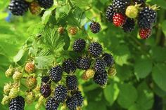 Кумберленд — сорт черной малины