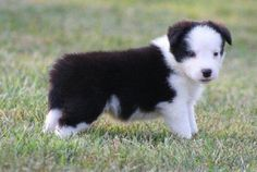 border collie puppy for sale | Zoe Fans Blog