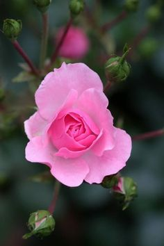 3782 best pink rose images on Pinterest in 2018   Beautiful flowers ...
