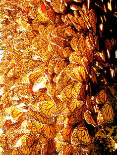 A wall of butterflies in Mexico.