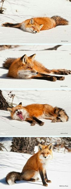 Sleepy Fox by Les Piccolo - Animals Nature Animals, Animals And Pets, Baby Animals, Funny Animals, Cute Animals, Wild Animals, Animal Memes, Funny Cats, Beautiful Creatures