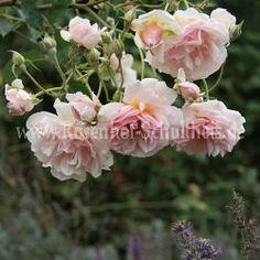 Felicia # 3 - Rosa - Rosa_moschata - Historische_Rosen - Roses - Rose of Schultheis