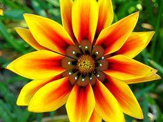 African Daisy. wild flower photo by planit-ca- | Photobucket