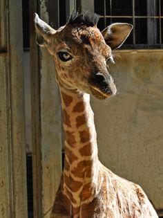 Nueva cría de jirafa en el Bioparc