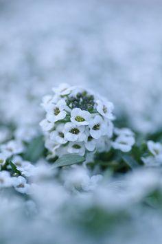 Alyssum: worth beyond beauty