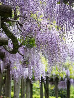 Lots of Lovely Wisteria