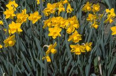 Daffodil Narcissus 'Bryanston' (2) AGM / RHS Gardening http://apps.rhs.org.uk/plantselector/searchbynameresults?nm=daffodil
