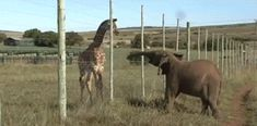 baby giraffe and baby elephant! 17 Baby Elephants Learning How To Use Their Trunks Elephant Gif, Elephant Love, African Elephant, Baby Elephants, Elephant Videos, Baby Hippo, Funny Animal Images, Animal Pictures, Funny Pictures