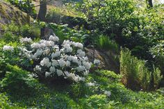 - Ärligt och härligt om trädgård och natur -: Vitblommande överlevare