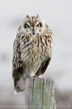 In love with a Short Eared Owl - by thrumyeye on DeviantArt