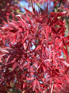Fraxinus angustifolia 'Raywood' Claret (red) ash