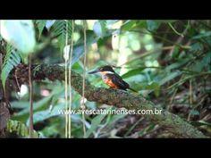 ▶ Martim-pescador-da-mata MVI_0411 - YouTube