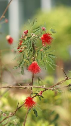 A red silk tree seen rarely in Korea.