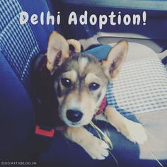 Found an abandoned puppy in Sector 19 Dwarka New Delhi.  Presently being fostered by the dog lover in front of whose apartment building she was found she urgently needs a forever home. She's about 2 months old smart alert and so very cute! She's healthy and has been given the first 9x1 vaccination. Please call 9871745109 if you'd like to adopt her.