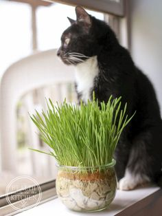 Cats Toys Ideas - DIY: Grow Cat Grass No Dirt Needed! - Ideal toys for small cats Cat Care Tips, Pet Care, Pet Tips, Crazy Cat Lady, Crazy Cats, Cat Plants, Cat Grass, Grass For Cats, Monkey Grass