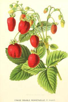 'L'illustration horticole