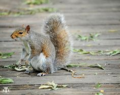 Eastern Gray Squirrel, Nature Photography, Fine Art, Trees, Leaves, Acorns, Furry, Playful