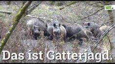 Grausame Gatterjagd in Salzburg Das sind keine Bilder für sensible Mitmenschen. Die Gatterjagd bei Max Mayr-Melnhof ist eine der brutalsten Tierquälereien, die die TierschützerInnen vor Ort je gesehen haben. Stundenlang werden Tiere von Hunden und laut schreienden Menschen auf und ab gehetzt. Eine Wildschweinfamilie drängt sich in Todesangst am Zaun dicht zusammen. Überall Schreie und Schüsse, aber der Zaun verhindert die Flucht.