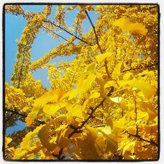 #autunno #autumn #yellow #giallo #ginko #foliage #milanodavedere  Parco Sempione by sarabrag