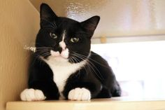 Sir Tuxie has been adopted from Seattle Humane http://www.seattlehumane.org/adoption/cats