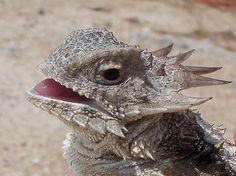 Regal horned lizard (Phrynosoma solare)   Flickr - Photo Sharing!