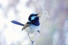 Blue Wren singing by Whimsical-Dreams on DeviantArt