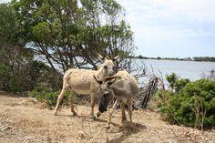 Asini dell'isola di S. Maria isola nella Riserva Naturale dello Stagnone
