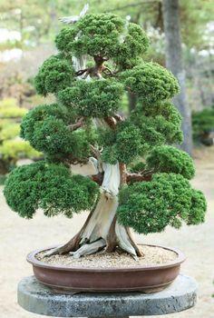como por ejemplo, las especies de los géneros: Acer (arce), Pinus (pino silvestre), Ulmus (olmo), Rhododendron (azalea), Ficus (higuera), Olea (olivo), Juniperus (enebro), etc.
