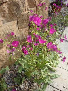"Purple Poppy Mallow. Callirhoe involucrata. 6-12"" tall. Blooms May-June."