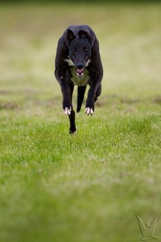 If you see this coming it is too late it's gone past you.  (Greyhound by Wild About Images, via Flickr)