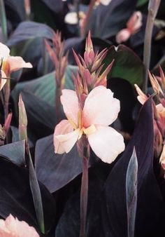 Canna 'Constitution 5' tall with narrow foliage in grey-purple with creamy light pink flowers. Fast grower, not as fast to multiply