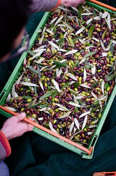 A crate of just-picked olives! Soon to be fresh olive oil. Olive Harvest, Olive Tree, Macedonia, Fruits And Vegetables, Wine Country, How To Dry Basil, Crates, Food Photography, Herbs