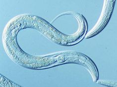 A tumor supressor gene found in the common laboratory nematode, C. elegans, has been shown to not only shut down cancerous cell division but also to fend off stress, according to a new University of Colorado Boulder study. Image courtesy NIH.