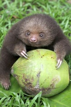tiny sloth and a coconut