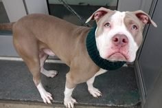 NOW SUPER URGENT - **SICK** ANTONIO TO BE DESTROYED‼️01/05/17 - #A1100635 0 MALE BROWN AND WHITE AM PIT BULL TER MIX, 2 Yrs - STRAY ON 12/28/17 - 01/02CIRDC, MOVE TO ISO, START DOXY - TOLERATED ALL HANDLING, FOUND IN THE PARK IN THE BRONX, WAGGING TAIL AND WIGGLY BODY WHOLE TIME, NO SIGNS OF AGGRESSION TO FINDER OR WHEN BROUGHT TO SHELTER