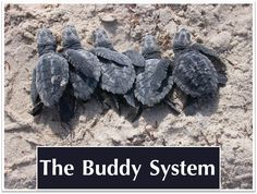 """""""The Buddy System."""" Kemp's ridley sea turtle hatchlings on Padre Island. NPS photo."""