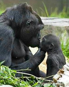 Momma n baby gorilla Amor entre gorilas. Primates, Mammals, Animals And Pets, Funny Animals, Cute Animals, Wild Animals, Strange Animals, Animals Kissing, Animals With Their Babies
