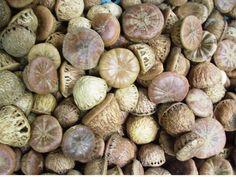 Quercus variabilis Blume  Chinese cork oak acorns