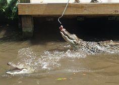 Connecticut Beardsley Zoo alligators feeding