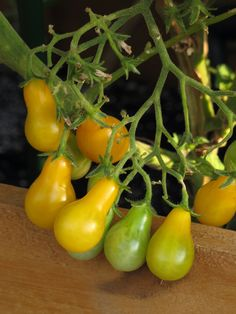 Tomato Cultivation, Tomato Seedlings, Pear, Stuffed Peppers, Fresh, Vegetables, Tomatoes, Gardening, Paintings