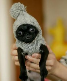 """Receive great ideas on """"black pug puppies"""". They are actually readily available for you on our site. Pug Love, I Love Dogs, Cute Dogs, Cute Baby Animals, Funny Animals, Pekinese, Baby Pugs, Dog Sweaters, Fur Babies"""