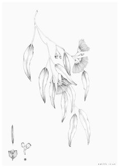 I really, really loved the hand-drawn aspect of this artwork Botanical Drawings, Botanical Illustration, Botanical Art, Illustration Art, Illustrations, Australian Wildflowers, Australian Native Flowers, Australian Art, Australisches Tattoo