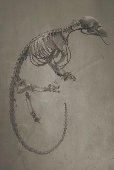 Pangolin Skeleton study