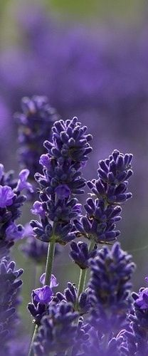 Mint Velvet Loves... Lavender