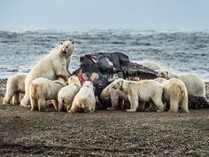 L'invasione degli orsi polari in Alaska