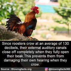 Mind Blowing Facts, Mind Blown, Farm Animals, Crow, Did You Know, Rooster, Collection, Raven, Crows