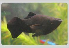 9 Best Buy Aquarium Fish In India Images Aquarium Fish Aquariums